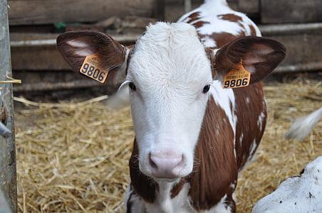 veal, farm, cattle, farm animals, cow, horns, animals