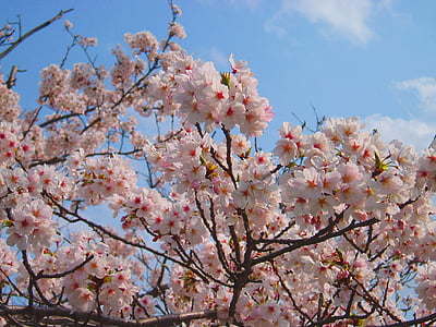 cherry, cherry blossoms, spring, pink, flowers, natural, plant