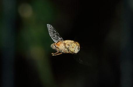 dípters, syrphus, eristalinus, macro, insecte, abella
