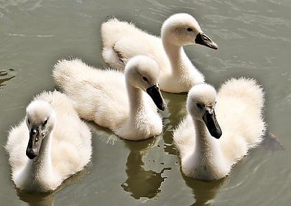 swan, baby swan, baby swans, water, water bird, cute, plumage