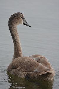 animal, naturaleza, cisne, cisne de whooper, aves acuáticas