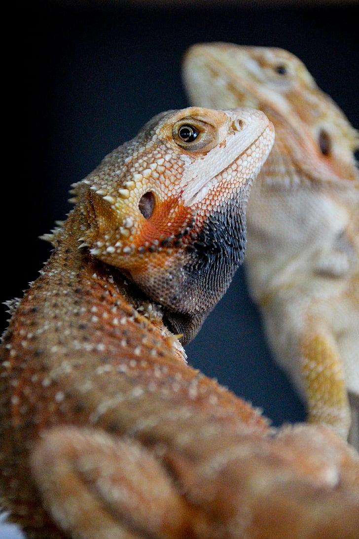 bearded dragon, reptile, male, animal, pet, beardie, lizard