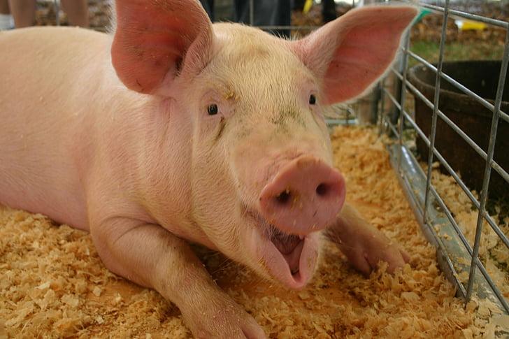 con lợn, đầy đủ trưởng thành, Trang trại, miệng mở, động vật nông trại, Quốc gia, nông nghiệp