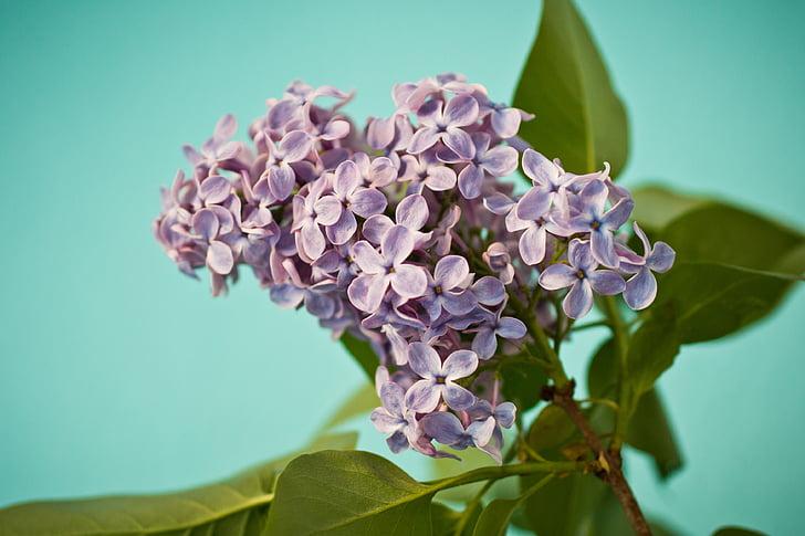 liliowy, Lilak pospolity, Bush, fioletowy, Violet, Bloom, oliwek
