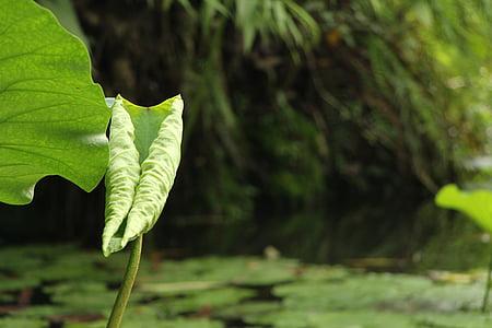 Lotus lístia, rybník, Zelená