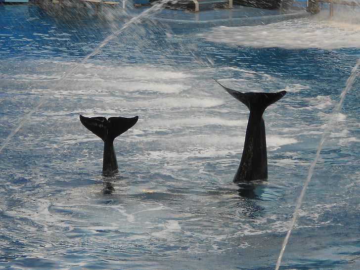 Whale, svans, Shamu, vattenpark, Aqua show