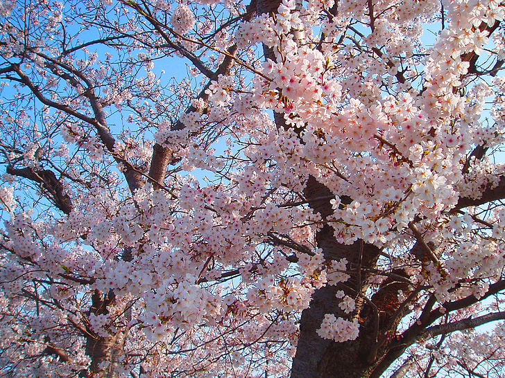 vyšnia, žydinčios japoniškos sakuros, pavasarį, rožinė, gėlės, natūralus, augalų