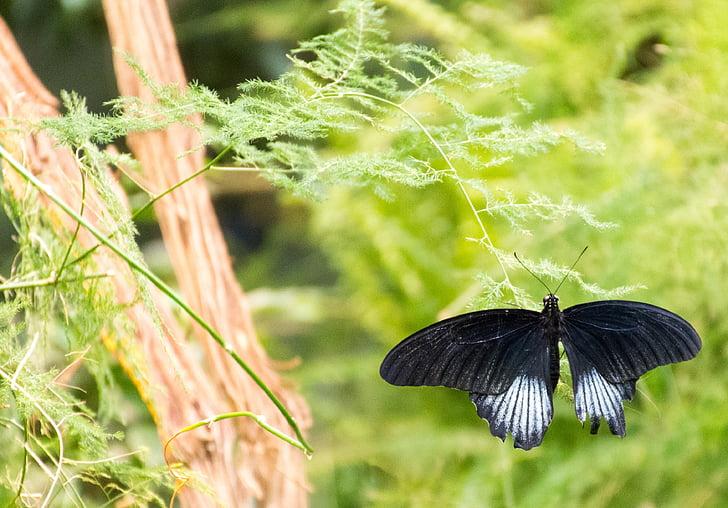 Метелик, чорний, білий, Комаха, макрос