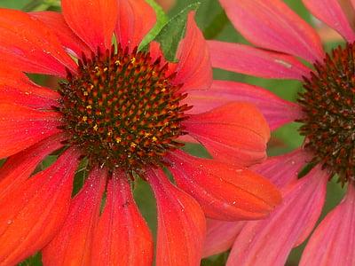 Coneflower, Echinacea, bunga, tanaman, musim panas, ungu, alam