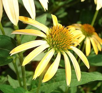 Coneflower, kuning, mekar, bunga, tanaman, mekar, musim panas