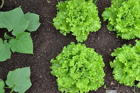 Hort, cogombre, planta de cogombre, Batàvia, enciam, Amanida verda, collita