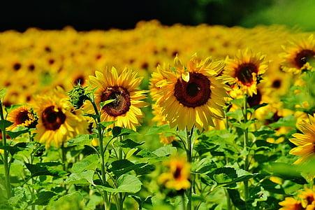 päevalill, mesilased, suvel, Aed, õis, Bloom, kollane
