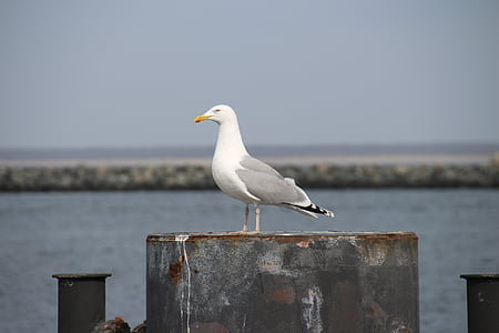 seagull, portrait, close, waterfowl