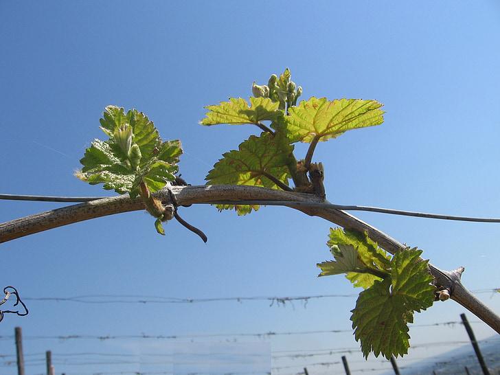 veini, lehed, loodus, lehed, Vineyard