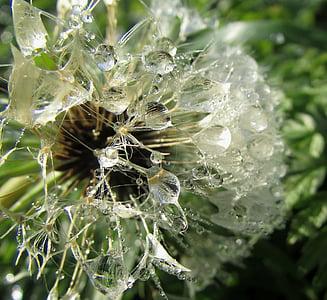 꽃에이 슬 방울, dewdrop, wassertrofpen, 이 슬, 물, 자연, 민들레