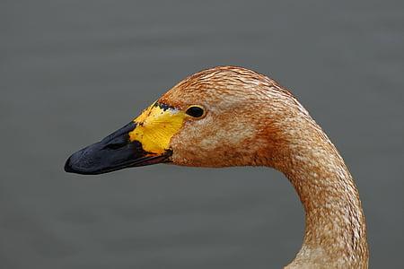 zvíře, vodní ptactvo, labuť, divoké zvíře, přírodní, krajina, Labutí jezero