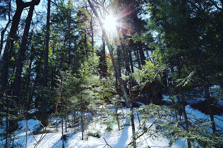 forest, green, trees, winter, nature, pine