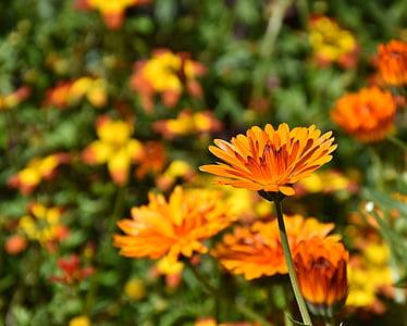 lilled, Sun flower, taim, Värviline, kroonlehed, Bloom, Aed