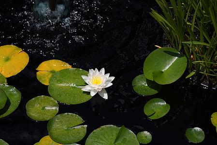 Lotus, Leknín, rybník, Bílý květ, vodní, Leknín, černá voda
