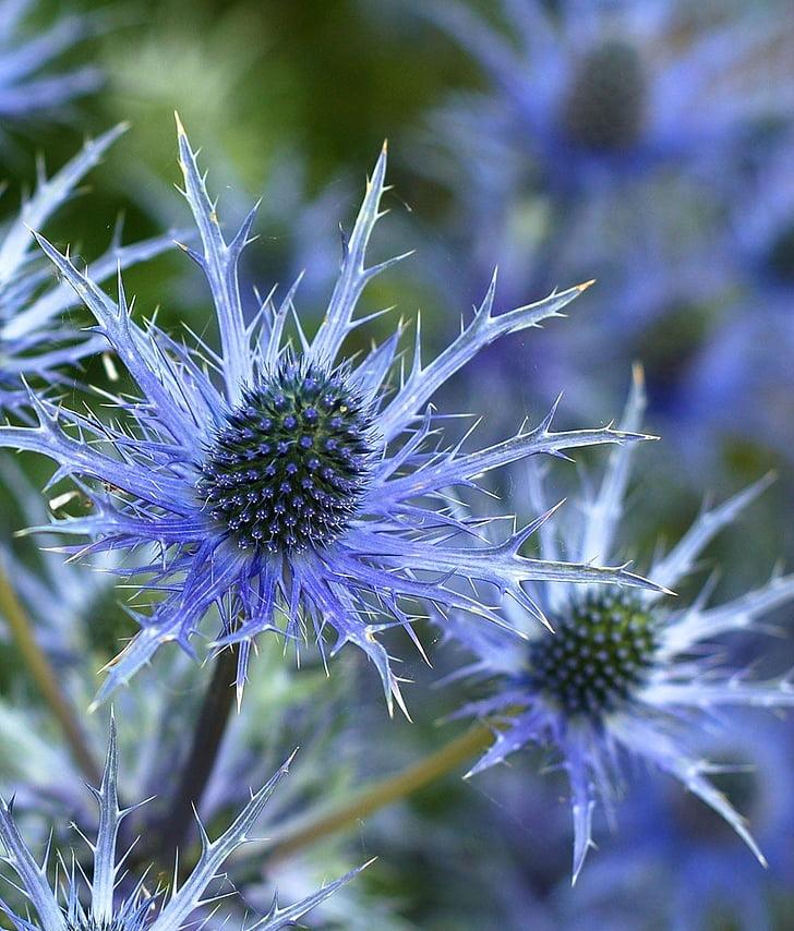 selektivní, zaměření, Fotografie, fialová, zahrada, Sea holly, květ