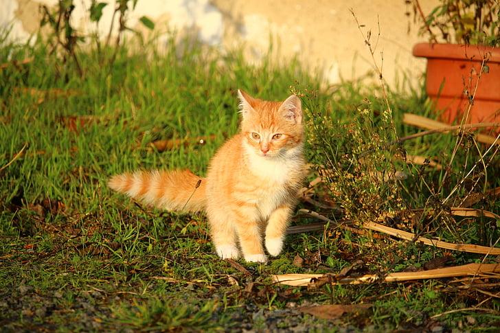 kaķis, kaķēns, kaķa bērns, Jauni kaķi, sarkans kaķis, mājas kaķis, kaķis portrets