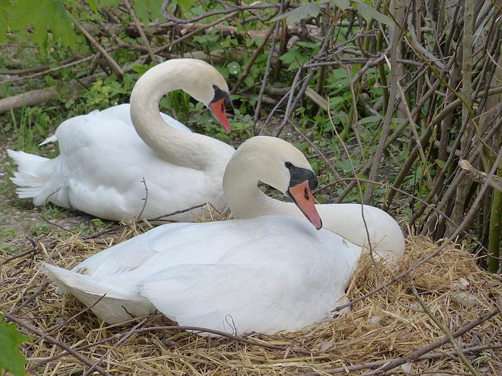 swan, breed, nest, swan's nest, animal