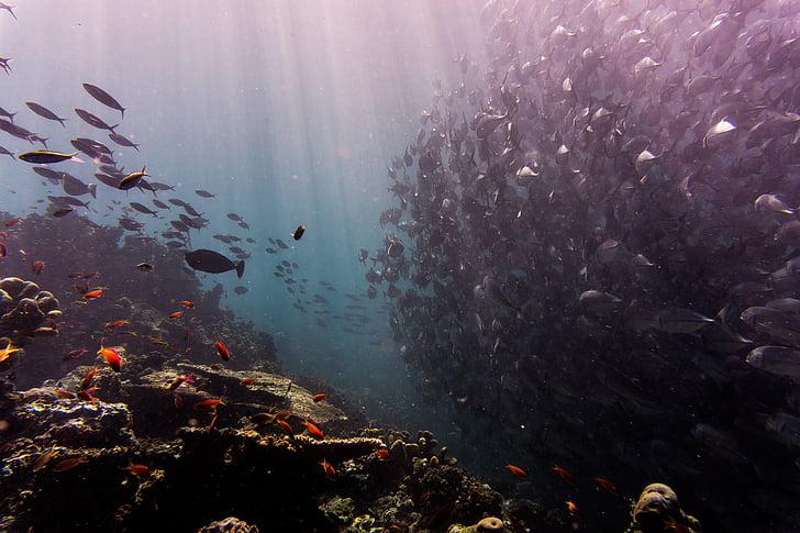 ปะการัง, ปลา, ปลา, โอเชี่ยน, โรงเรียนของปลา, ทะเล, ใต้น้ำ