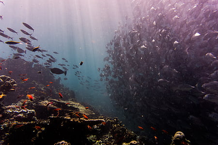 koraller, fisk, fiskar, Ocean, fiskstim, havet, Underwater