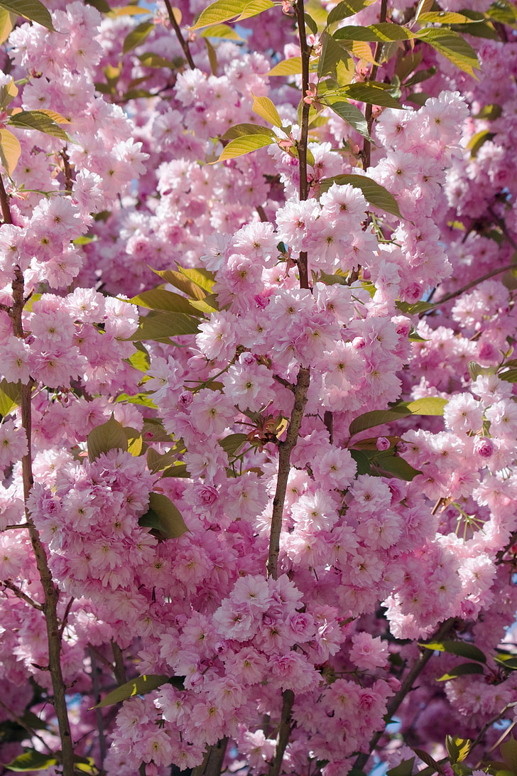 blossom, flowers, blooms, pink, floral, flora, tree