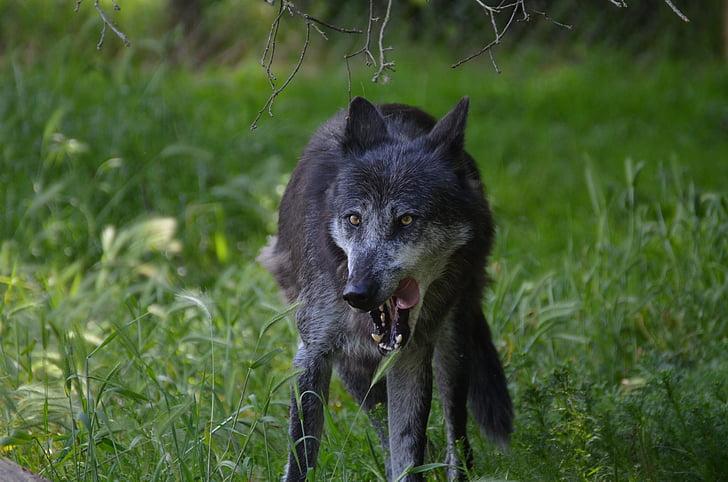 llop, famolencs, gris, animal, carnívor, gos, natura