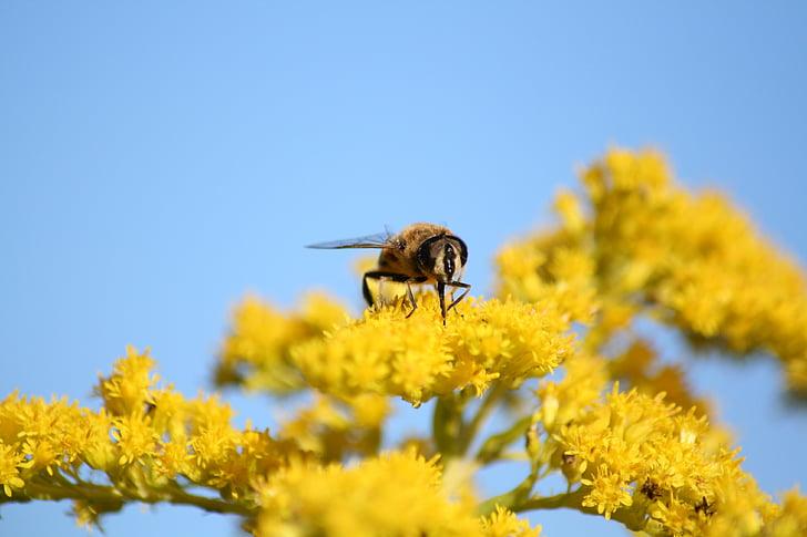 mosca de voltar, natura, insecte, groc, flor, flor, planta