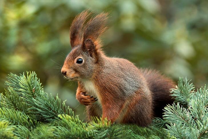σκίουρος, προσοχή, τα αυτιά, Χαριτωμένο, Κήπος