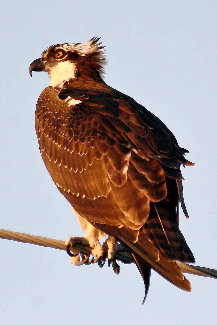 limb, perching, osprey, birds, animals, fauna