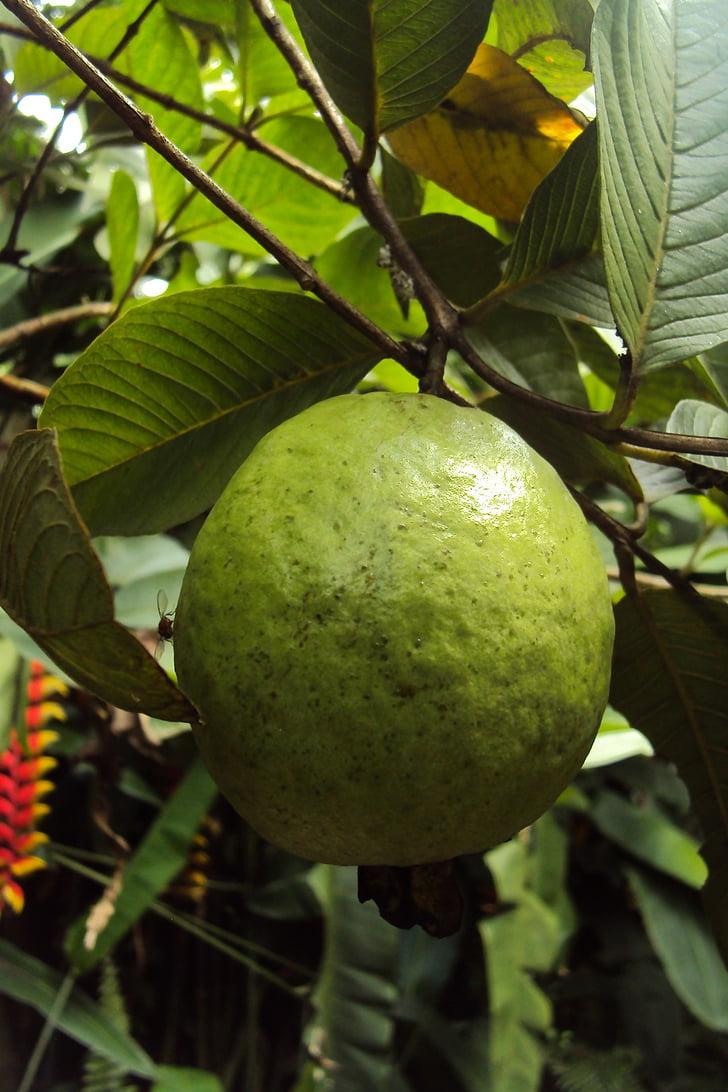 guaiaba, fruita, fruita de guaiaba, fresc, verd, tropical, postres