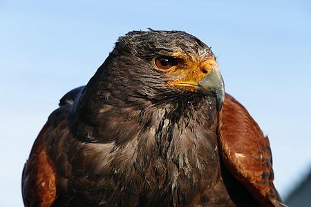 Linnut, saalis, Luonto, Wild, Hawk, Wildlife, nokka
