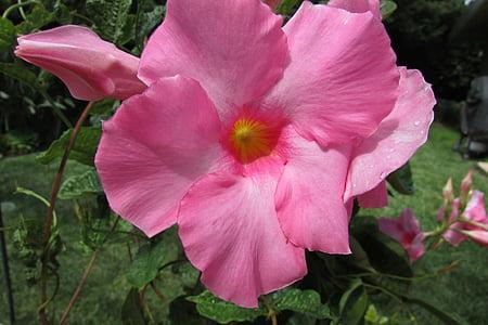 Dahlia, lill, Flora, Ilu, roosa lill, Kaunis, kroonleht