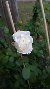 capoll de Rosa blanca, Rosa-arbust, flor, jardí, natura