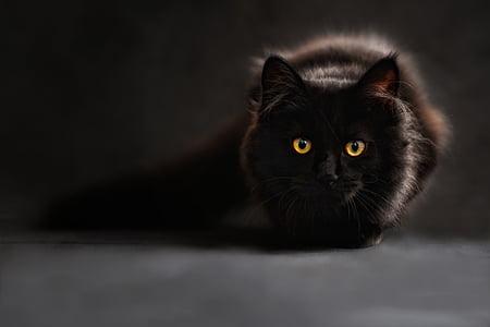 котка, силует, котки силует, котешки очи, обратно светлина, Черна котка, mainecoon