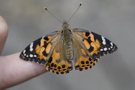 vlinder, Geverfde Dame, edelfalter, insect, vlinders, dier, vleugel