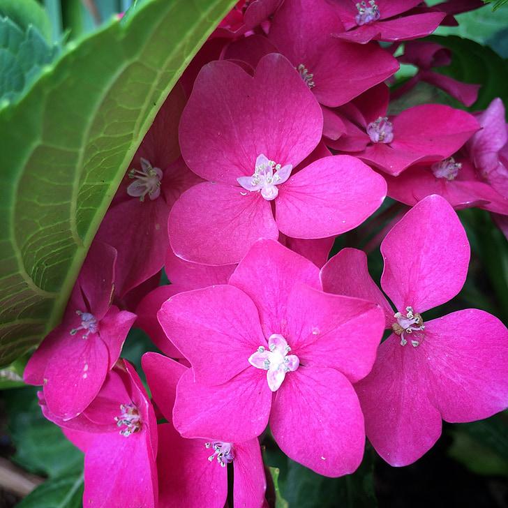 flor, manat, flor rosa, primavera, bonica, flors, natura