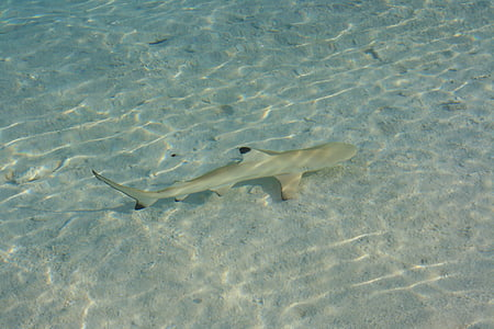 shark, maldives, fish