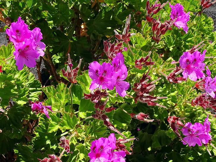 Pelargonium, rdeče rože, vijolična, jardiniere, poletje, cvet, vonj