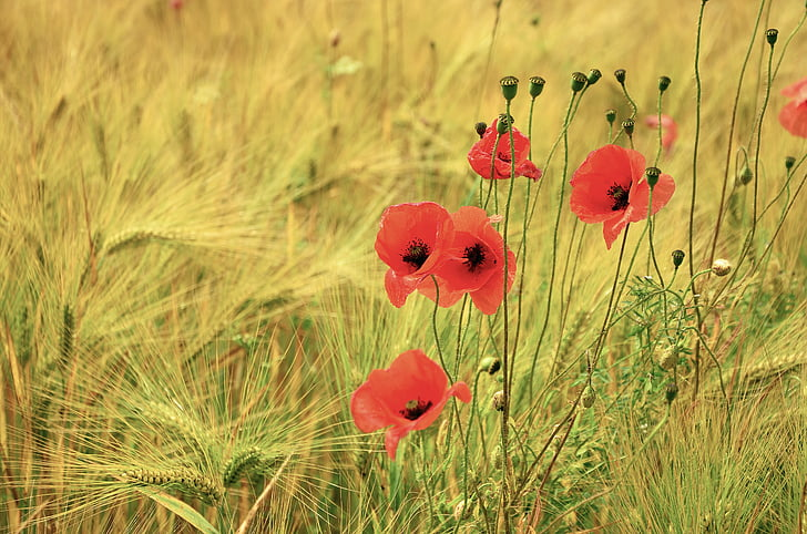 cereals, poppy, poppies, barley, barley field, cornfield, agriculture