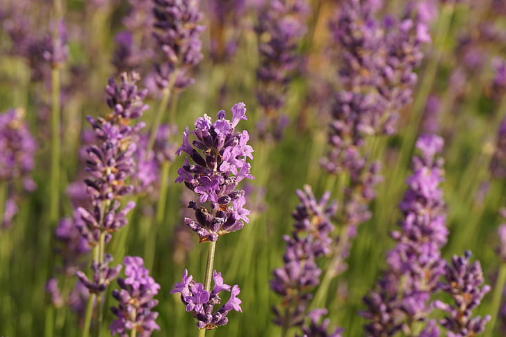 Lavendel, lilled, loodus, lilla, lõhn, Aed, aroom