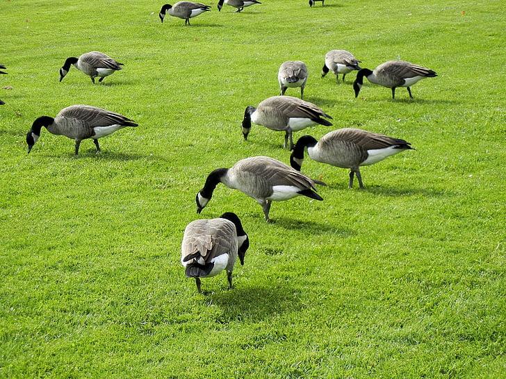 Канада гъски, хранене, трева, Канада