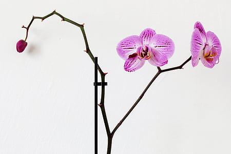 puķe, rozā, Orhideja, Flora, studijas pameta, Nr cilvēki, balts fons
