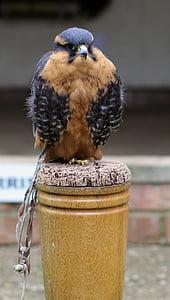 aplomado falcon, Predator, lintuinfluenssan, lintu, saalis, Hawk, aplomado