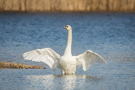 swan, lake, wing beat, water, swans, bird, nature