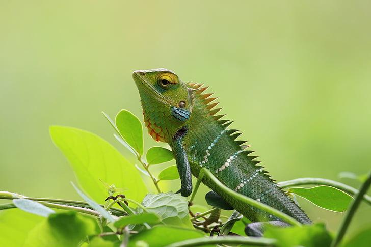 Chameleon, divoké, Príroda, Zelená, Tapeta, zviera, voľne žijúcich živočíchov