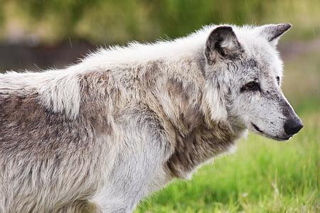 канадски дървен материал вълци, животните, вълк, Хищникът, вълци, пакет, месоядни птици